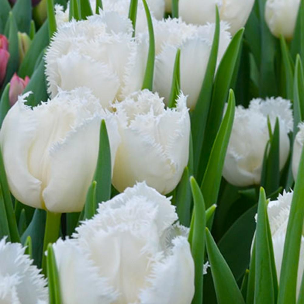 Тюльпан Cambridge