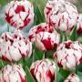 Тюльпан Carnaval de Nice