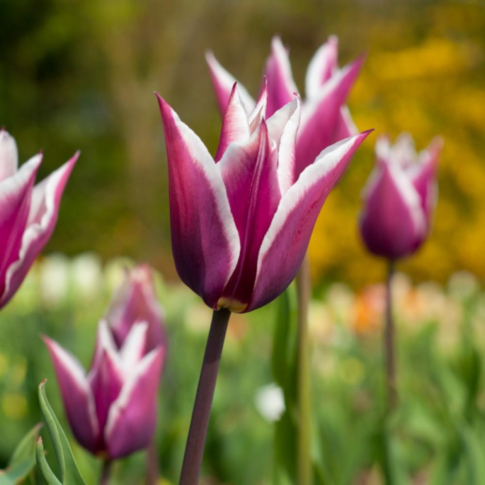 Тюльпан Claudia
