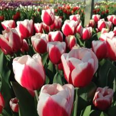 Тюльпан De Dijk