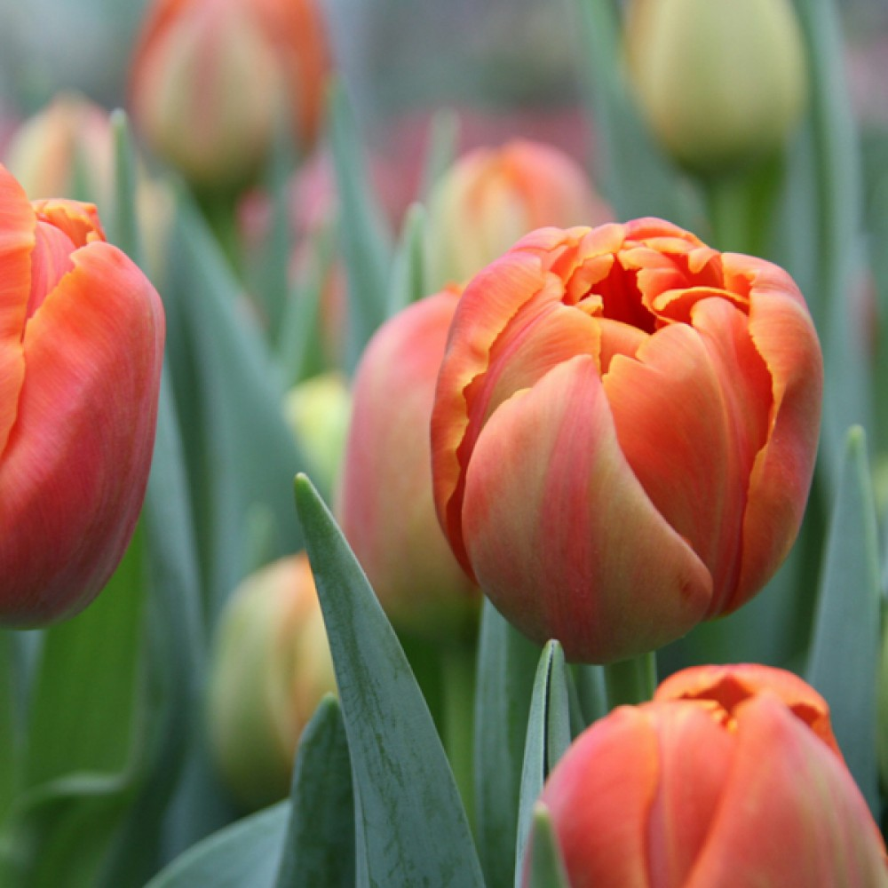 Тюльпан Icoon