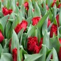 Тюльпан Indiana