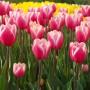 Тюльпан Jumbo Beauty