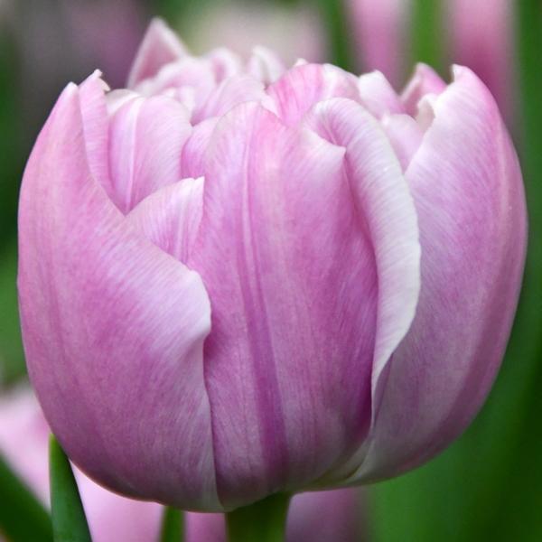 Тюльпан Katinka