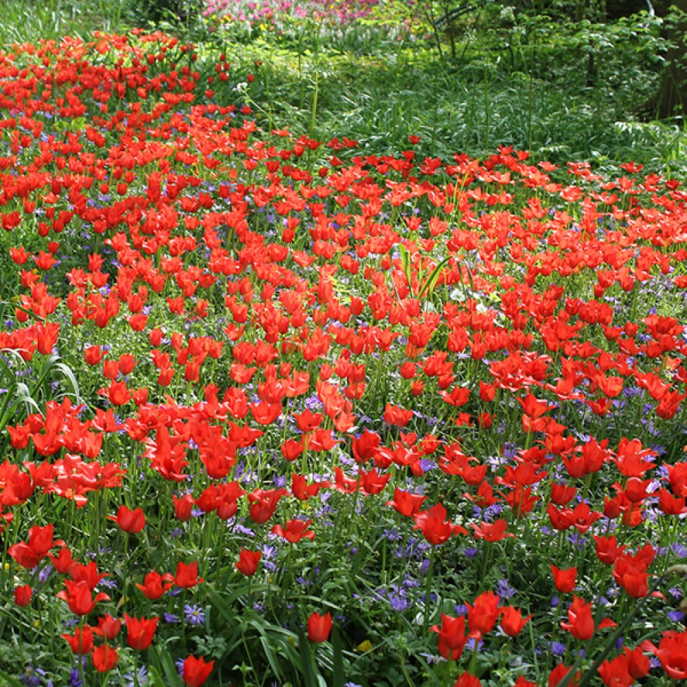 Тюльпан Linifolia
