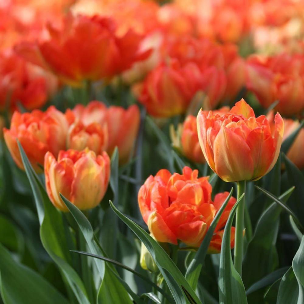 Тюльпан Monte Orange