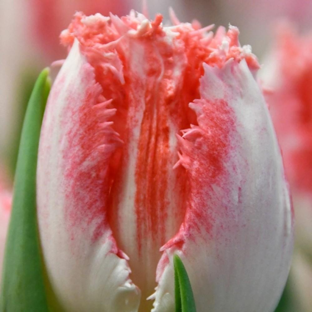 Тюльпан Neglige