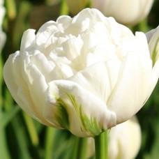 Тюльпан Northcap