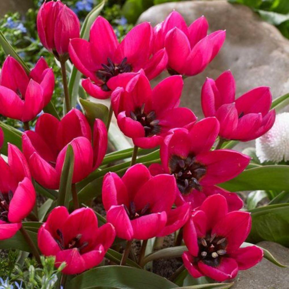 Тюльпан Odalisque