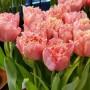 Тюльпан Pink Magic