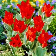 Тюльпан Praestans Unicum