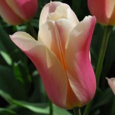 Тюльпан Sanne