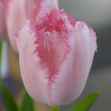 Тюльпан Santander