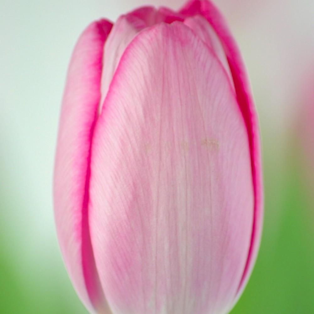 Тюльпан Sissi