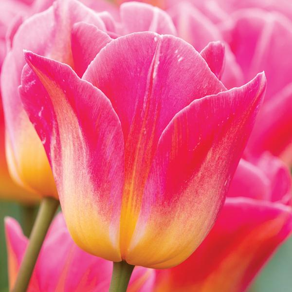 Тюльпан Tom Pouce