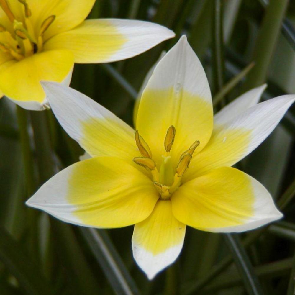 Тюльпан Urumiensis