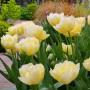 Тюльпан Verona