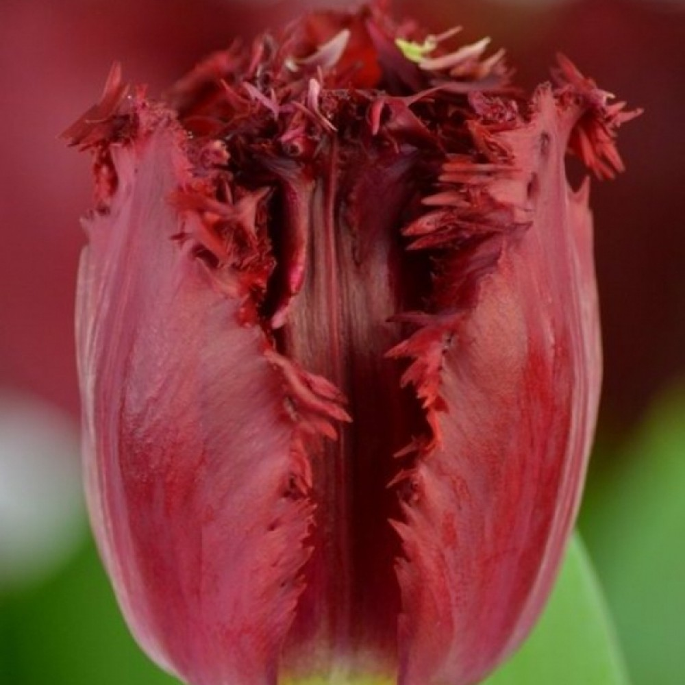 Тюльпан Versaci