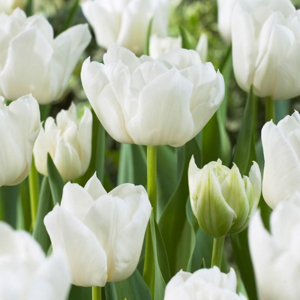 Тюльпан White Heart