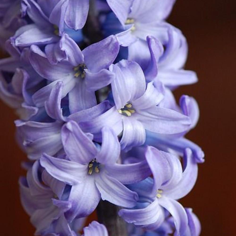 Гиацинт Blue Passion