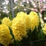 Гіацинт Yellow Baby