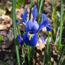 Ирис Reticulata Blue Hill