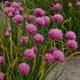 Алліум schoenoprasum Forescate
