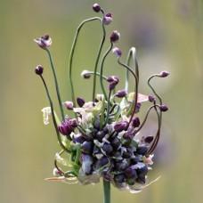 Аллиум scorodoprasum Art