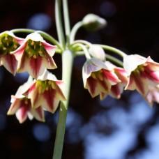 Аллиум siculum ssp Bulgaricum