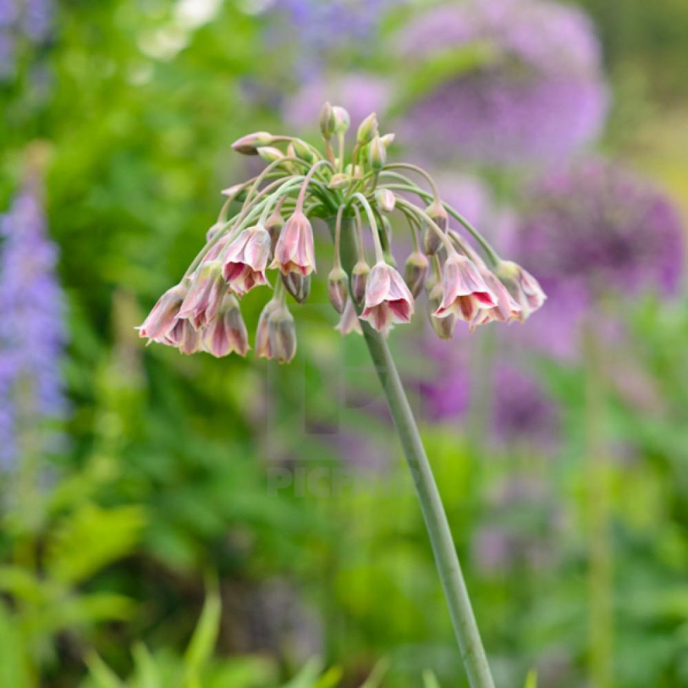 Алліум siculum ssp Bulgaricum