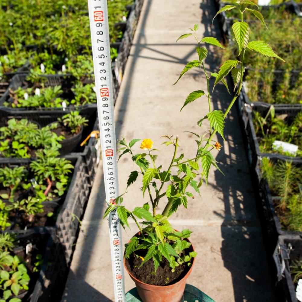 Керія японська Pleniflora  (саджанець)