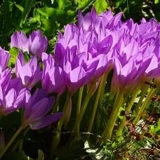 Пізньоцвіт Lilac Bedder