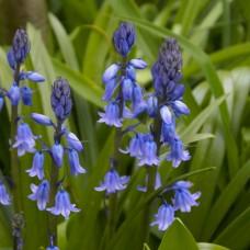 Гиацинтоидес Blauw