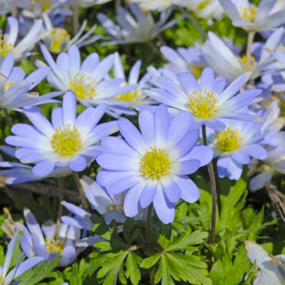 Анемона Blue Splendour