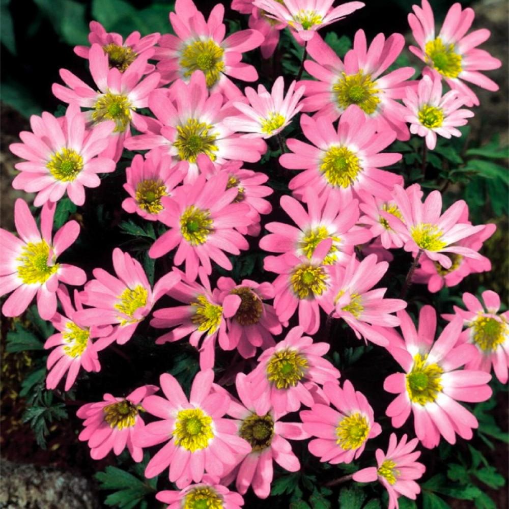 Анемона Pink Star