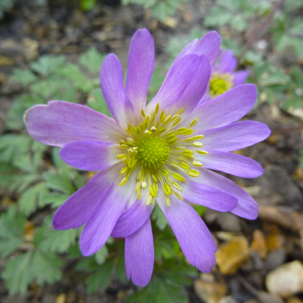 Анемона Violet Star