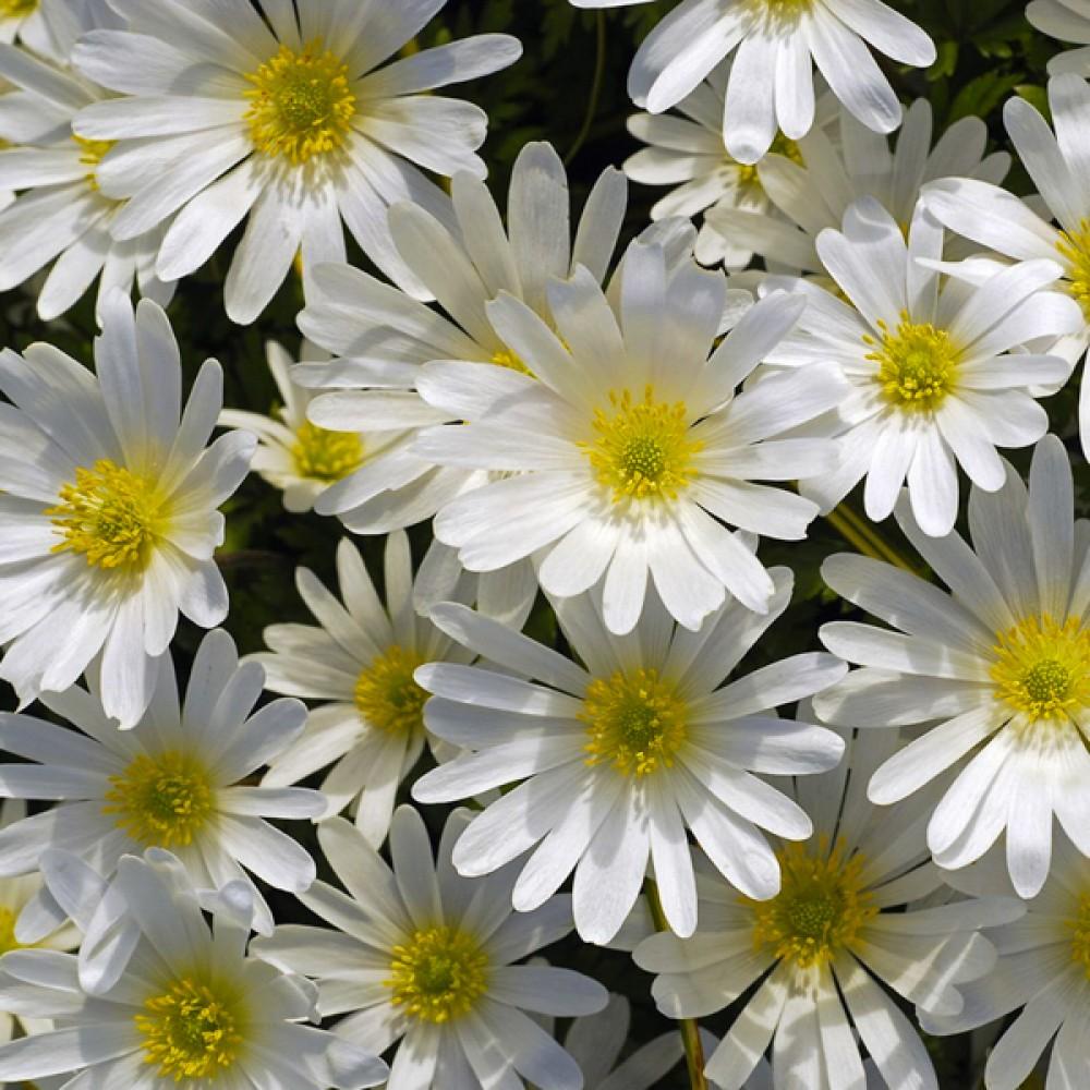 Анемона White Splendour