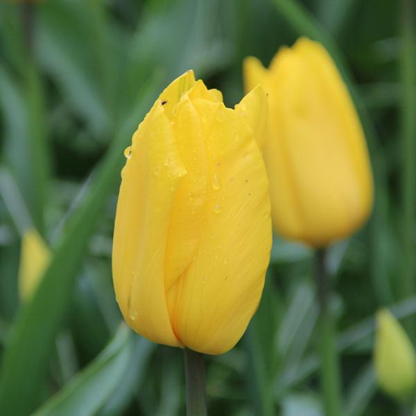 Тюльпан Strong Gold 10/11