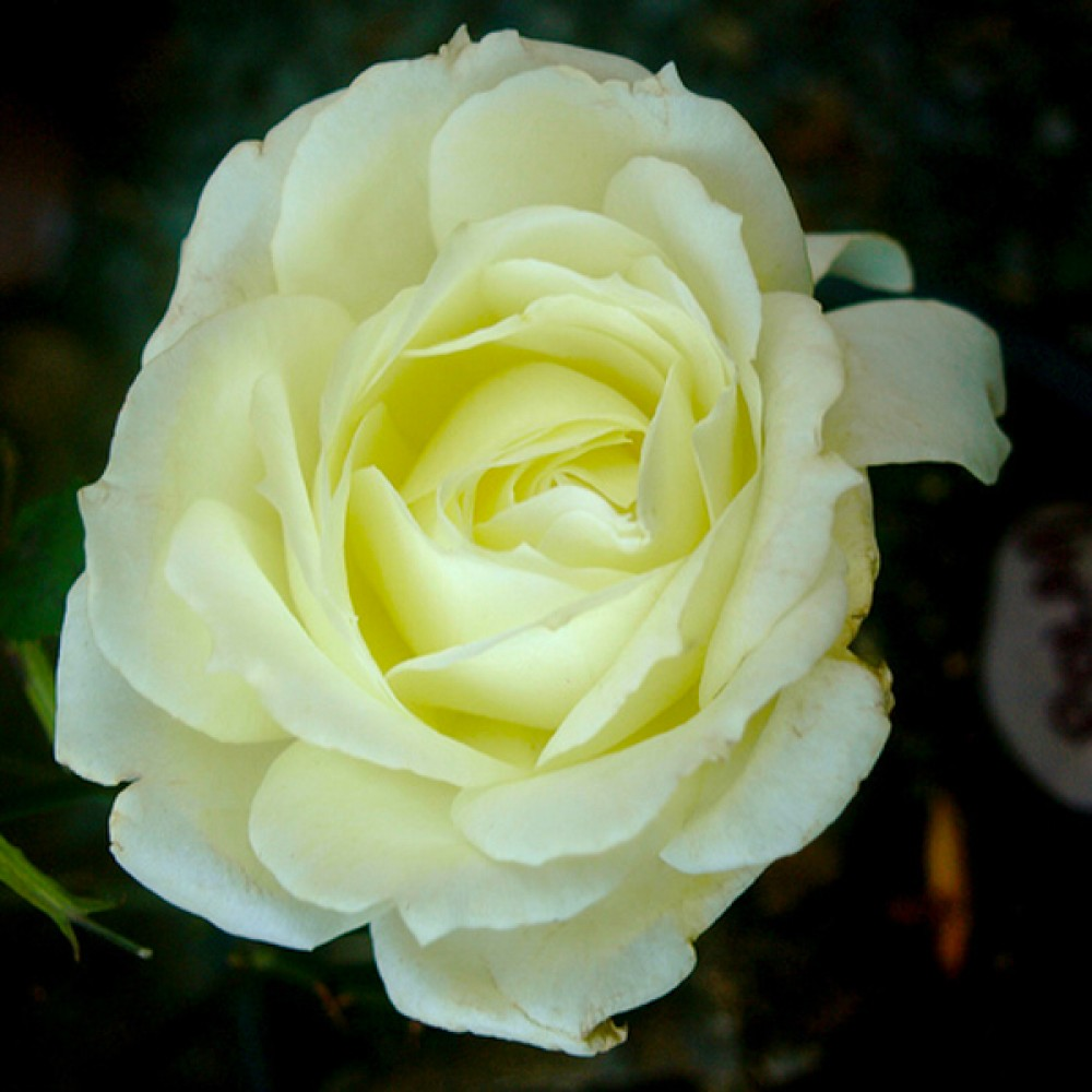 Троянда Polar Star (саджанець)
