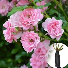 Роза The Fairy