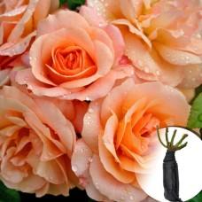 Роза Aprikola
