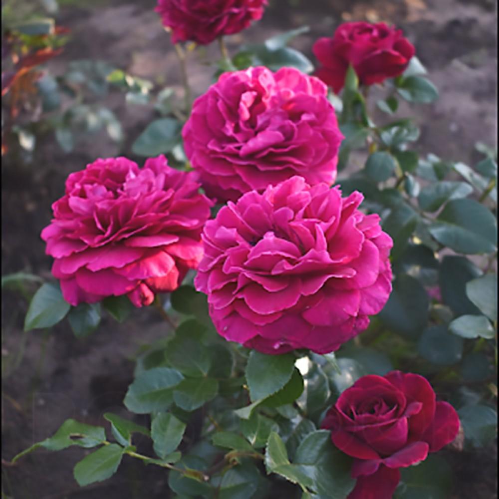 Троянда Bellevue (саджанець)