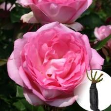 Троянда Beverly