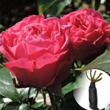 Троянда Cherry Lady