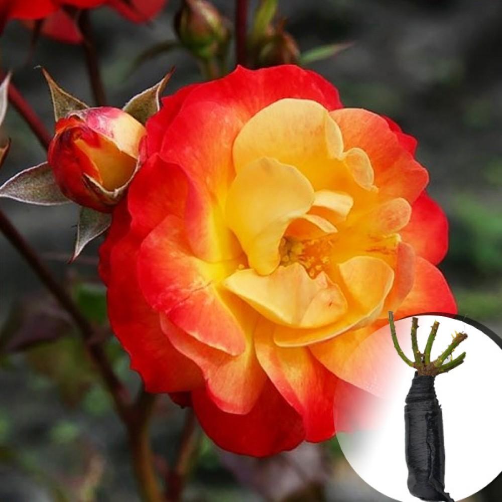 Троянда Firebird (саджанець)