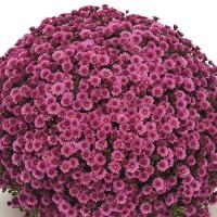 Хризантема Staviski Pink 1л