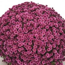Хризантема Staviski Pink