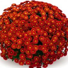 Хризантема Staviski Red