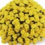 Хризантема Staviski Yellow