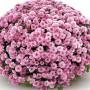 Хризантема Josada Pink Dark